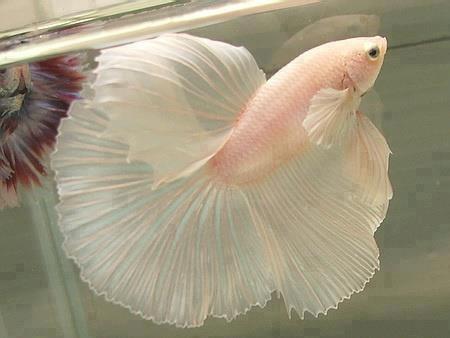من اجمل الأسماك سبحان الله