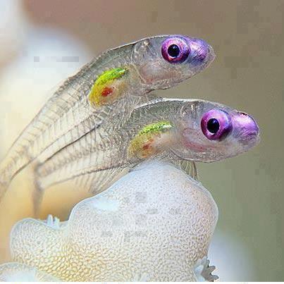 نوع من السمك شفاف يري هيكله العظمي
