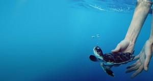 akte-baby_sea_turtle