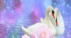 صور البجع الابيض