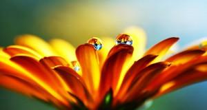 اروع وردة صفراء