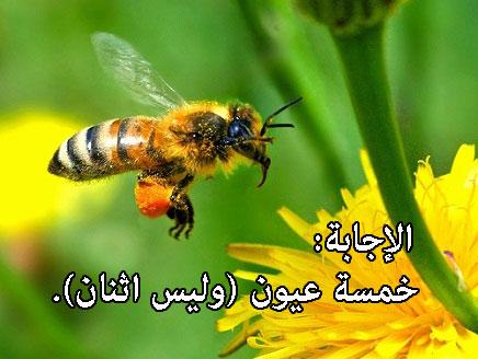 كم عينًا للنحلة