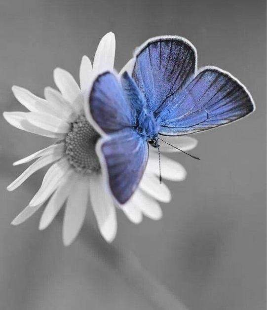 فراشة زرقاء